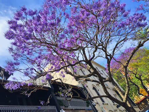 Jacarandas in blossom, Sydney, Australia. Photo by Mark Pegrum, 2016. May be reused under CC BY 3.0 licence